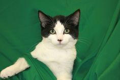 Remi is a black and white kitten who was born 4/26/13.  He weighs 5 lbs.  Remi is neutered, litter trained, current on shots and microchipped.For more information, please call the pet line at 952-368-3553 and leave a message and phone number.  Our...