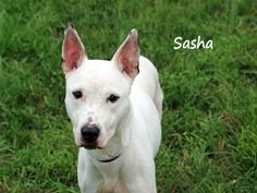 Lee County, FL Domestic Animal Services at (239) 533-7387 SASHA - ID#A559484 I am a spayed female, white Terrier mix.The shelter staff thinks I am about 2 years and 7 months old.I have been at the shelter since Sep 11, 2014.I was found at a bus stop. Those were the only notes the officers entered about me. My history is a mystery but one thing is for sure. I love to play ball. I reside on one of the busiest intersections on the kennel floor. I'm quiet and calm despite the traffic and noise.