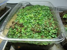 Grow greens in old produce clamshell containers. Courtesy of the Fabulous Beekman Boys (deserving winners of Amazing Race and charming sweeties, too).  http://beekman1802.com/reuse-that-salad-container-for-salad/#