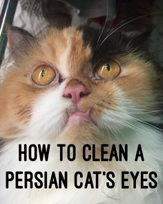 Clean himalayan cat eyes