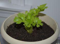 Cultivo - Replantar Salsão ou Aipo. Blog Veganana. Horta em casa.