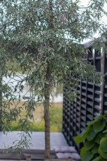 Levins Trädgård & Design. Silverpäron framför svart spaljé, ritad av Ulrika Levin, trädgårdsarkitekt.