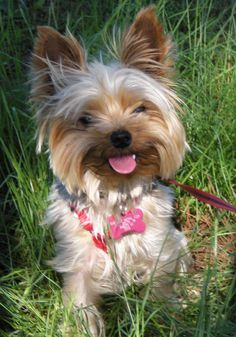 Oklahoma Yorkie Rescue - links to their website, Available Dogs, and loads of information about the care and needs of the Yorkshire Terrier breed