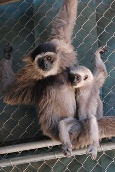 Come sit on my lap dear…    (Gibbon Conservation Center)