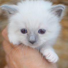 4 weeks old Lejonet&Björnen #lejonetochbjörnen #minimazarinerna2017 #birma #birman #breeder #catsofinstagram #chokladochvanilj #kitten #pinkalicious #topcatphoto #happycatclub #we_love_cats #we_love_cats #excellent_kittens #excellent_cats #bestcats_oftheworld #birman_cats_lovers #birman_feature #birmavanner