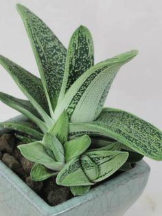 Gasteria 'Little Warty' - See more at: http://worldofsucculents.com/gasteria-little-warty