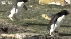 Penguins show off clumsy cuteness in best vid you'll see today via @msnnow
