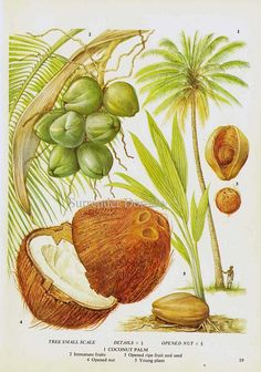 Coconut Palm Tree Tropical Fruit Chart Food by SurrenderDorothy