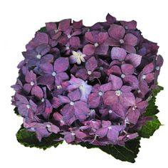 Hydrangea Purple Berry
