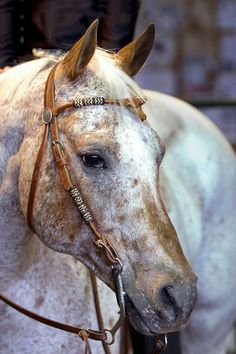 Pretty Appy and beautiful head stall! I've always wanted an Appy.
