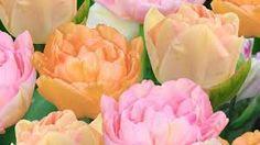 Bildresultat för orange tulpaner