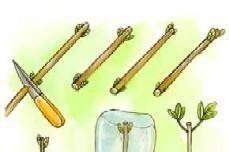 Come moltiplicare le rose più belle con il metodo della talea di ramo - Fai da Te Mania