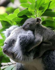 Coala e seu filhote.
