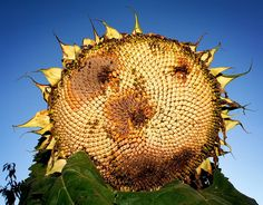well oiled sunflower