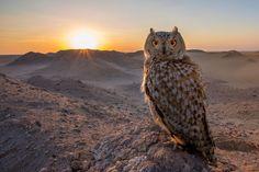 Sova, pták, příroda, západ slunce, slunce