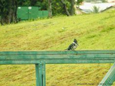 Martim-pescador-verde - Chloroceryle amazona (Amazon Kingfisher)