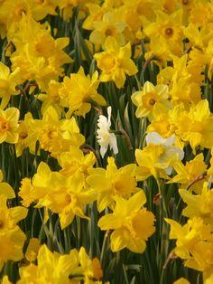 Field of daffodils, and beautiful Wordsworth poem