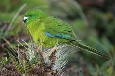 Antipodes Island parakeet (Cyanoramphus unicolor) Vulnerable