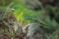 Antipodes Island parakeet (Cyanoramphus unicolor) Vulnerable