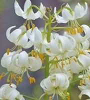 Varjolilja, valkoinen 1 kpl