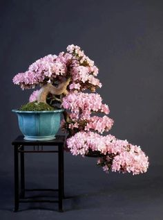 Cascade flowering bonsai tree - Azalea Bonsai with flowers, by Teunis Jan Klein. Bonsai trees in full bloom, or bearing fruits, are a spectacular sight. In this article they have listed the 10 most beautiful flowering Bonsai trees. Flowering Bonsai Tree, Bonsai Tree Care, Indoor Bonsai Tree, Bonsai Trees, Wisteria Bonsai, Ikebana, Plantas Bonsai, Bonsai Garden, Garden Plants