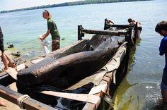 На дне Днепра нашли целое кладбище казацких лодок - В городе - Longue de 8 mètres, cette pirogue cosaque s'est conservéet dans l'eau du Dniepr pendant au moins cinq siècles.