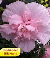 Gefüllter Hibiskus 'Chiffon®' pink
