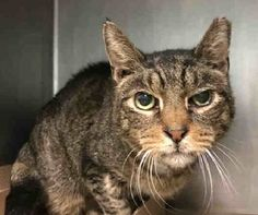 """BARACK - A1103864 - - Brooklyn  ***TO BE DESTROYED 02/19/17*** BARAK IS POSSIBLY BLIND – The shelter sent this plea out today """" I would like to introduce the handsome BARACK!  This 12 year young man came is in as an owner surrender- but we do not have much information on him.  His coat is a little rough but with some TLC he will be one handsome man!  We do believe he is blind as well. """"  BARACK is one of 15 cats that came in together when owner died. -"""