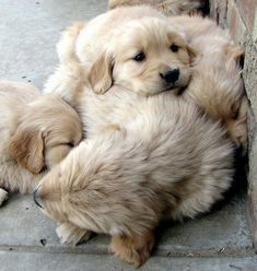 A fluffy pile of golden retriever puppies~