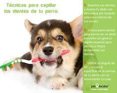 #Consejo ¡Aprende a cepillar los dientes de tu #perro! La boca es la vía directa hacia los pulmones, riñon, hígado y corazón, por lo que si tu perro no tiene una buena higiene bucal, las baterias pueden infectarla ocasionando alguna enfermedad a estos órganos.