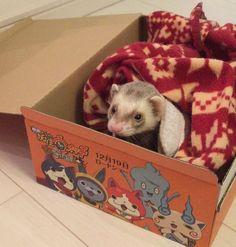 """""""アマゾンから届いた荷物の箱がたまたまウォッチッチでした さっそく遊んでくれる茶丸さん かわゆい #フェレット #ferret #茶丸 #つイタチ"""""""