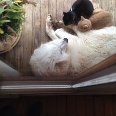 """""""These dogs are kind and gentle but also great protectors. #bestfriends (Anatolian shepherd/pyrenese mix)"""""""