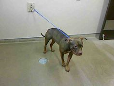 *SADIE-ID#A703128    Shelter staff named me SADIE.    I am a female, red and sable Pit Bull Terrier.    The shelter staff think I am about 1 year old.    I have been at the shelter since Mar 06, 2013.