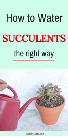 succulent garden care Learning how to water succulents the right way is crucial to keeping your succulents alive and looking beautiful. Learn everything you need to know with this easy-to- post! How To Water Succulents, Flowering Succulents, Growing Succulents, Succulent Gardening, Succulent Terrarium, Planting Succulents, Garden Plants, Organic Gardening, House Plants