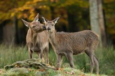 The kiss by David Dirga - Chronicles of a Love Affair with Nature World Wetlands Day, Deer Photos, Photo Competition, Looking For Love, Love Affair, Woodland Animals, Wildlife Photography, Animals Beautiful, Kangaroo