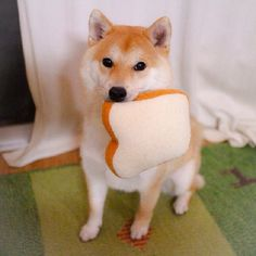 最喜歡的食物是吐司!呆萌柴犬Daifuku吃貨日記 | 可愛 | 妞新聞 niusnews