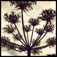 King cow parsley