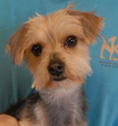 McDuff is a sensitive young boy who longs for serenity and peace-of-mind.  He is an incredibly cute Yorkshire Terrier mix, 1 year of age, neutered, good with other dogs, and debuting for adoption today at Nevada SPCA (www.nevadaspca.org).  McDuff was at another shelter that asked for our help due to his past neglect and timidity.  He is now eating premium food, groomed, and being socialized by patient volunteers.