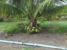 COMO FAZER MUDA COCO ANÃO PRODUZINDO COM DOIS ANOS E MEIO natureba Sitio GilSat - YouTube Fruit Garden, Organic Farming, Agriculture, Palm Trees, Nature, Youtube, Design, Bonsai Trees, Buffets