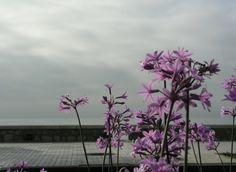 Sólo la flora violeta del paseo marítimo A. Machado, alegraba un poco el gris arranque del martes en Málaga. Foto: Bernabé de la Rosa y Antonio Aguayo. [Envía tu foto por correo mailto: zona20@20minutos.es o por twitter #Primavera20m]