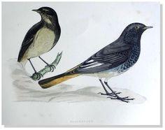 Morris-Blackstart -1892 History of British Birds Woodblock Engraving #Vintage123yearsold