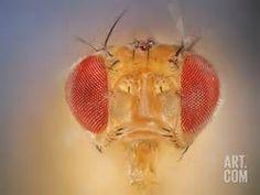 ... and Red Compound Eyes (Drosophila Melanogaster) Photographic Print