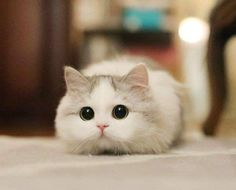 New cute cat hd hd wallpapers , images ,pic collection for Status Baby Animals Super Cute, Cute Baby Cats, Cute Little Animals, Cute Kittens, Cute Cats And Kittens, Cute Funny Animals, I Love Cats, Cute Dogs, Ragdoll Kittens