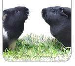 Guinea Pig Cage Measurements Bigger is Better! Diy Guinea Pig Cage, Guinea Pig Hutch, Guinea Pigs, Guinea Pig Supplies, C&c Cage, Pet Store, Fur Babies, Cubes, Pets