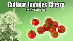 Cultivo del tomate Cherry   Sembrar tomates Cherry   Parte 1