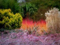 winter garden with Cornus 'Midwinter Fire' and Pinus 'Wintergold'