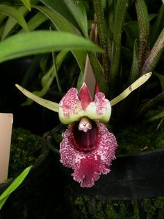 Orchid: Euryblema andreae [Synonym: Chondrorhyncha andreae]