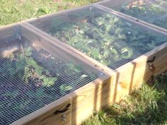 Grow Strawberries - keep the critters out but still let in the pollinators.