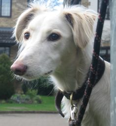 Lurcher Link :: View topic - JAIMIE - beautiful cream saluki x