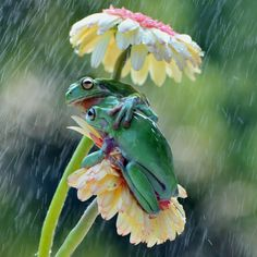 """☔️ Shelter from the Rain ~ lol , laughing out loudly ...lots of laughs  ~ National Geographic Your Shot 2015. ~ Two Dumpy Tree Frogs tried to find an """" Umbrella """" when Photographer  Ajar Setiadi was showering the flower plant."""